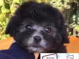 陵水純種泰迪犬價格 陵水里能買到純種泰迪犬