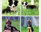 灵提多少钱 可签协议 幼犬待售中 三个月质保