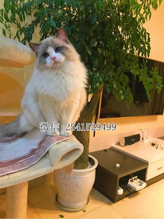黄冈什么地方有卖布偶猫的 黄冈有布偶猫猫舍吗