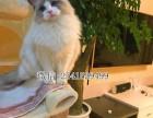 济宁纯种布偶猫一般多少钱可以买到济宁布偶猫多少钱一只