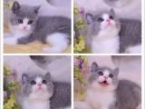 无锡本地出售宠物猫,正规猫舍,无锡蓝猫,无锡加菲找家长