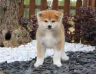 哪里出售纯种高品质 秋田犬 健康可来基地挑选