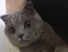 自己家繁育的刚满月小蓝猫