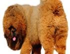 藏獒出售3个月幼犬预防已打驱虫已做保养活包健康