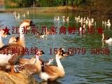 供应纯种狮头鹅苗 送货到家 江苏东升家禽欢迎前来考察