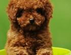 深圳高端泰迪犬 特价直销 健康质保 欢迎选购