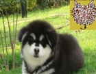 中山养殖场出售巨型大骨架阿拉斯加雪橇犬 可视频送货上门