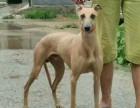 全活格力犬出售 格力犬多少钱一只