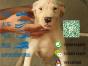 有没有卖带血统的杜高犬要包健康包纯种的