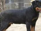 狗场里的罗威纳能不能养活 价格贵不贵