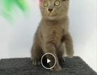 英国短毛猫蓝猫渐层2000元