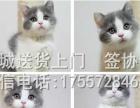 出售 美国短毛猫 美短银虎斑 标斑宠物猫幼猫咪活体