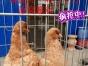 翔羽鸽舍长期出售观赏鸽价格面议