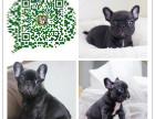 巴南区法国斗牛犬价格三个月健康宠物 品质保证