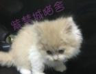 纯种英国短毛猫乳白高地公猫