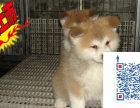 上海哪里有秋田犬 一般秋田多少钱