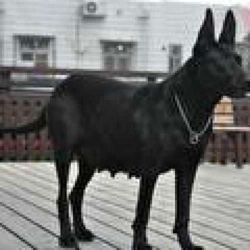 魔界黑狼 自家养殖 品相好 视频看狗 大骨架
