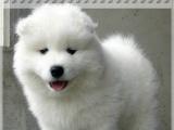 萨摩耶犬 ——专业繁殖—