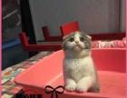 苏格兰折耳猫 宠物 幼猫高地折耳活体宠物折耳猫幼猫
