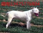 成都金堂三个月的杜高犬价格图片 纯种杜高犬幼犬多少钱一只
