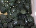 南康巴西龟批发