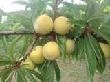 贵州春见柑橘树苗价格,哪里可以批发春见柑桔果树苗