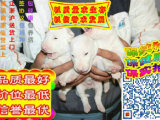 济南哪里有卖牛头梗的 牛头梗多少钱