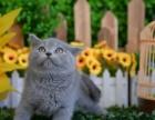 出售纯种家养 蓝 猫 疫苗齐包健康 全国包邮