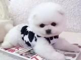 超萌純種哈多利球形博美幼犬 粉雕玉琢 包健康 包活