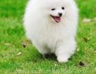 纯种博美犬 出售 博美幼犬 品质好 质量保证