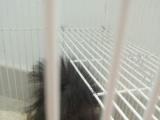 可爱黑松鼠求领养