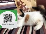 东莞哪里开猫舍卖折耳猫 去哪里可以买得到纯种折耳猫
