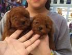 重庆哪有贵宾犬卖 重庆贵宾犬价格 重庆贵宾犬多少钱