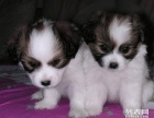 上海哪里有蝴蝶犬卖 上海蝴蝶多少钱 蝴蝶幼犬视频