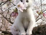 蕪湖甜美系列英短 加菲貓