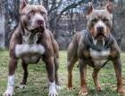 出售纯种比特犬 比特幼犬 品质好信誉高质量保