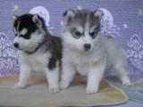 超帅气赛级哈士奇幼犬 多种颜色可选 优选品质保