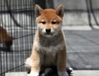 精品日系柴犬幼犬 血统纯正健康保障 市区可送上门
