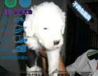 出售高品质古代牧羊犬宝宝 纯种健康 疫苗驱虫做完
