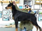 杜宾-杜宾犬-杜宾幼犬血统-家养犬舍多只可选疫苗齐