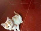 家养白黄猫咪赠送