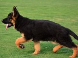 直销幼犬、品质保证,血统纯正,欢迎上门挑选狗狗