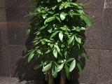 办公室绿植租赁买卖 鲜花绿植 商场植物租摆 绿化养护