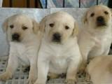 信誉服务 高端品质保障 纯种拉布拉多犬 常年有货