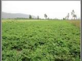 批发 药材种子 种苗 当归种子 药材种苗