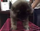 西安出售2 4个月幼犬(高加索)疫苗齐签协议
