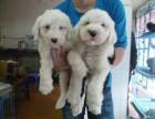 杭州出售纯种英国古代牧羊犬白头通背活体古牧