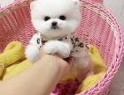 小巧玲珑 乖巧可爱 聪明活泼的博美犬出售,健康保证