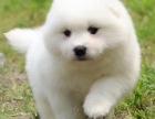 国内**萨摩耶 骨量超大 毛量超好 购犬签协议