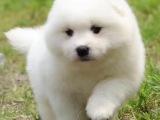 国内 萨摩耶 骨量超大 毛量超好 购犬签协议